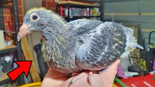Hand Raising My Baby Pigeon