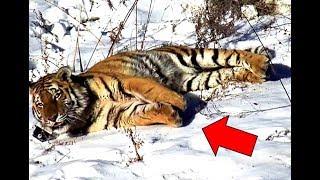 Тигрица из последних сил вышла к людям за помощью: финал поражает