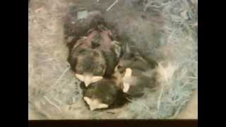 preview picture of video 'Blue tit nestbox: Day 14'