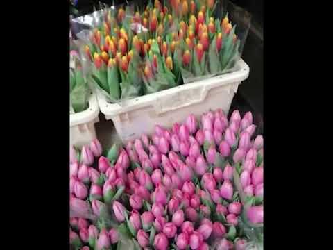 51 тюльпанов в ленте Video #1