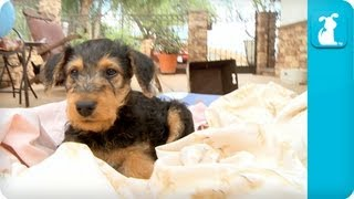Airedale Terriers Puppies - Puppy Love