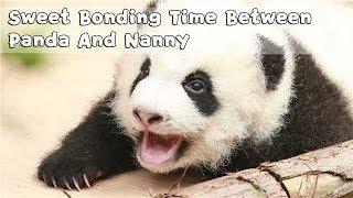 Sweet Bonding Time Between Panda And Nanny | iPanda