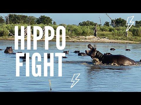 Hippos Face Off