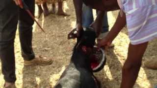 preview picture of video 'Death to Mbuzi (Goat)'