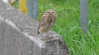 Rare for our area! A burrowing owl in Richmond, BC