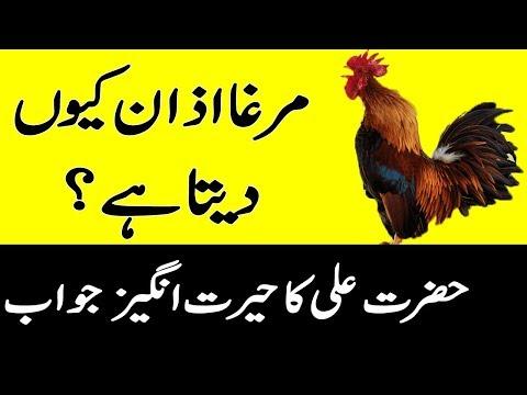 مرغا اذان کیوں دیتا ہے ؟