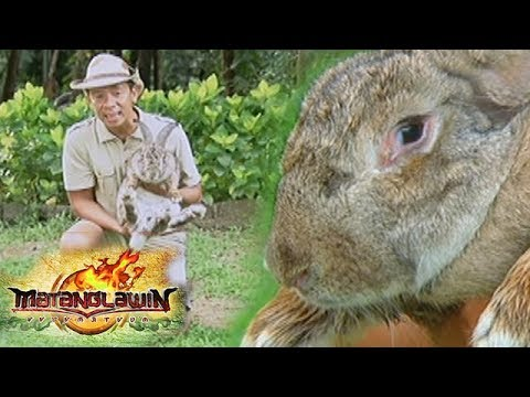 , title : 'Matanglawin: The Flemish Giant and other rabbit breeds