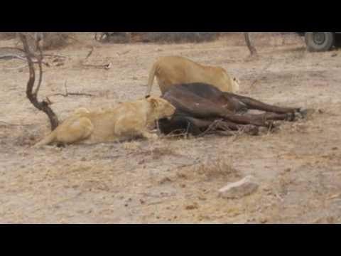 Buffalo getting eaten alive by Lions