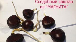 """1.Chestnut.Выращиваю съедобный каштан из магазина """"Магнит""""."""