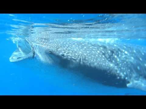 Isla Holbox – Swim with whale sharks