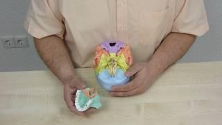 4708 Osteopathie Schädel Modell 22 teilig mit Magneten