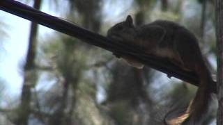 Squirrel Relaxing on a Telephone Wire