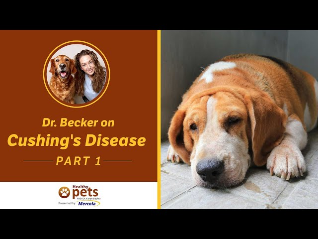 Cushing's Disease | Dog Spaying and Neutering (part 1 of 3)