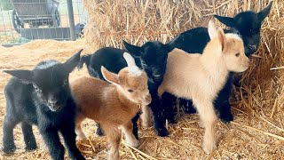 4 Week Old Baby Goats.. Update!!!!