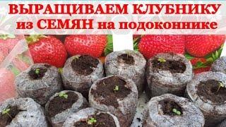 Семена земляники: правила высадки и ухода
