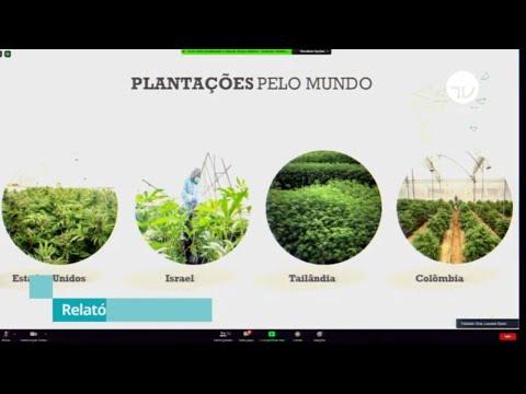 Relatório prevê cultivo da Cannabis (maconha) no Brasil com restrições - 02/09/20