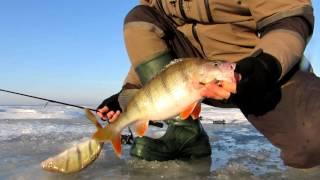 Зимняя рыбалка на куршском заливе окунь