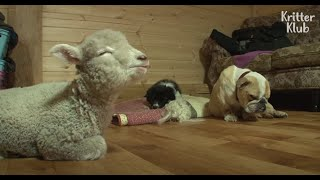 Meek Lamb Just Keeps Smiling Despite Real Rascal Puppy's Mischief | Kritter Klub