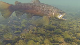 Catching Brown Trout on the Little Red River