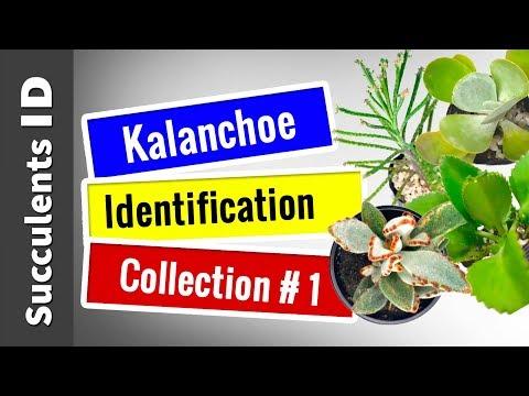 condylom Kalanchoe