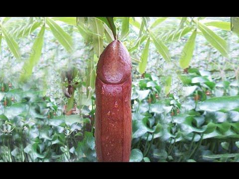 Cum să mărești lungimea penisului tău