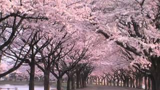 SunSet Swish - Sakurabito