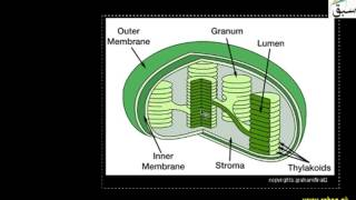 Chloroplasts, The  Sites of Photosynthesis, Biology Lecture | Sabaq.pk |