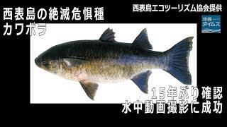 水中動画撮影に初成功沖縄・西表島の絶滅危惧種「カワボラ」