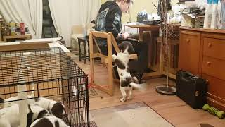 8 Week Old English Springer Spaniel Puppies, Puppys, Puppy