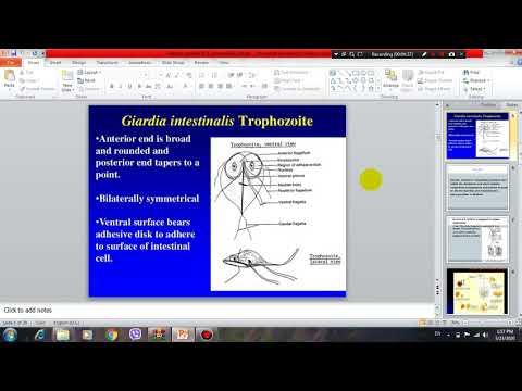Ureaplasmosis antibiotikumos kezelése