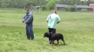 Tony's working line Rottweilers