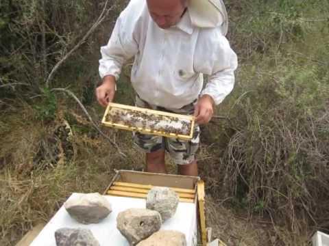 пчеловодство . осмотр роя 17 дней спустя и добавление магазина
