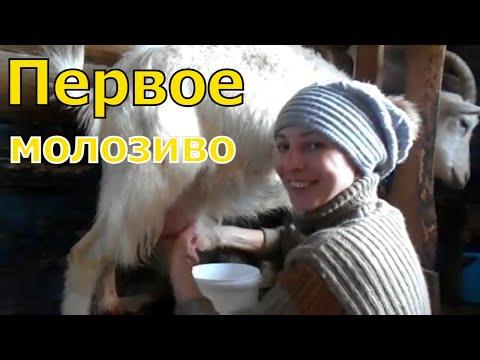 Первая дойка козы после окота