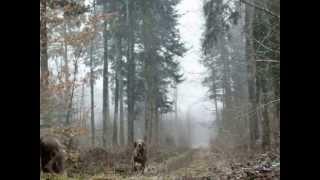 preview picture of video 'Nicky et Silver Braque de Weimar jouant en fin de promenade'