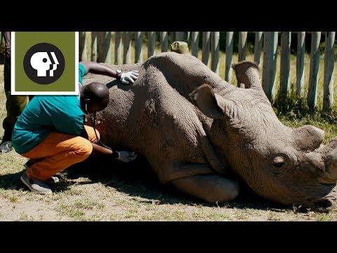 Κένυα: Πέθανε ο τελευταίος αρσενικός λευκός ρινόκερος του Βορρά (βίντεο)