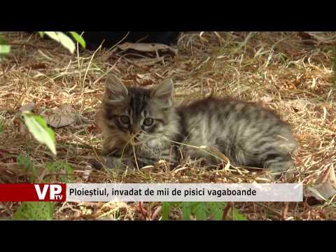Ploieștiul, invadat de mii de pisici vagaboande