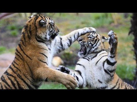Βερολίνο: «Πρώτη» για τέσσερις σπάνιες τίγρεις Σουμάτρας …