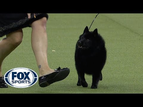 Group judging for the Non-Sporting Group at the 2019 Westminster Kennel Club Dog Show | FOX SPORTS