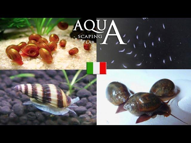 Aquascaping Lab - Parassiti in Acquario, eliminazione Planorbis,Physa,Melanoides,Acroloxus,Planarie