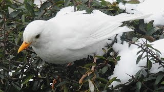 Albino Blackbird @ Rushall, West Mids 19th March 2018