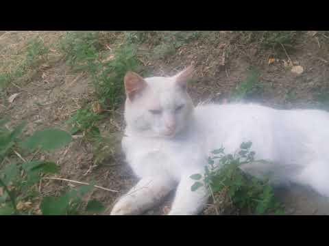 #волк #волкособ #хаски #собака #кошка #кот  Канадский Хаски Степан и кошки