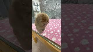 Poodle Puppies Videos