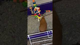 Guinea Pig Rodents Videos