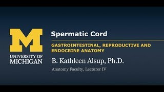 Reproductive System: Spermatic Cord