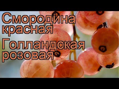 Смородина красная Голландская розовая 🌿 обзор: как сажать, саженцы смородины Голландская розовая