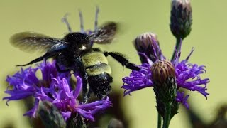 UNT student researches Texas bumblebee populations