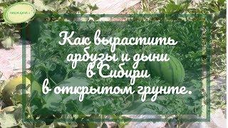 Как вырастить арбузы и дыни в Сибири по природному земледелию