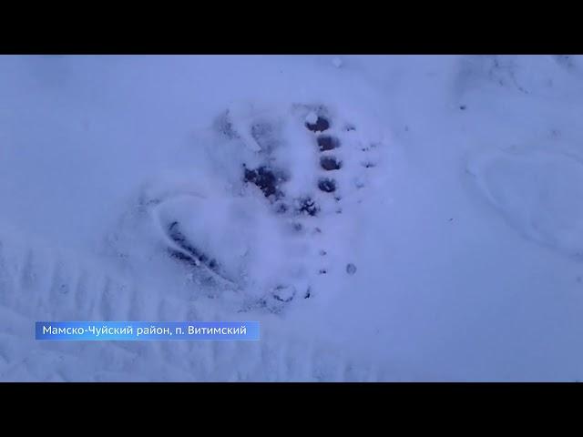На севере области застрелили медведя-людоеда