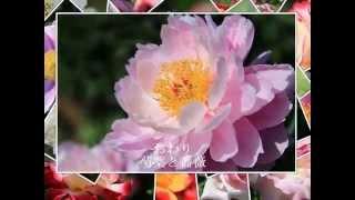 芍薬と薔薇大船フラワーセンター