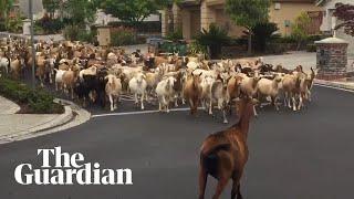 Herd Of Goats Runs Rampant Through Streets Of San Jose